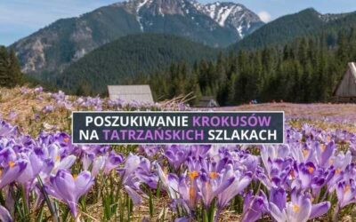 Poszukiwanie krokusów na tatrzańskich szlakach